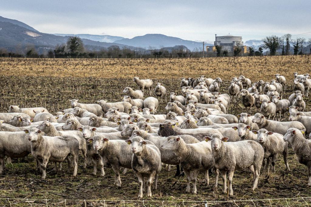 Troupeau de brebis dans les champs de Creys-Mépieu (Isère) à proximité du site nucléaire de Malville, le vendredi 7 février 2019.