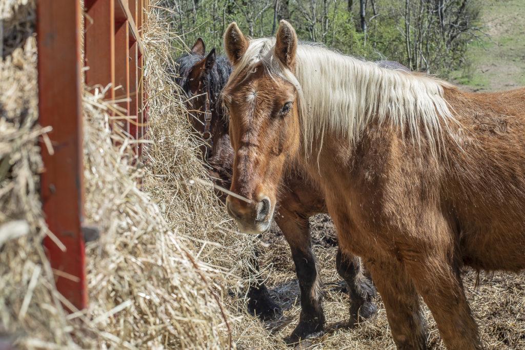 Chevaux de l'élevage de Jean-Luc Césari, à Mercury (Savoie)